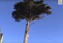 QUIBERON: Mise a mort d'un bel arbre