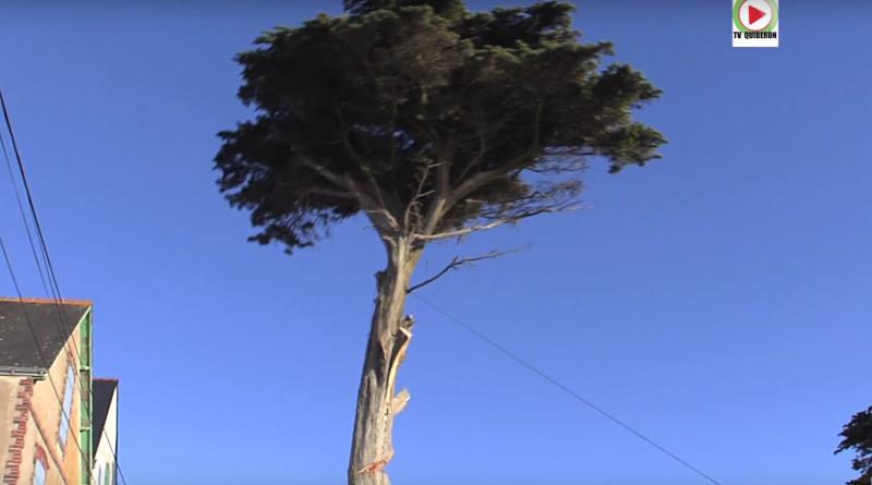 Quiberon mise a mort d'un bel arbre
