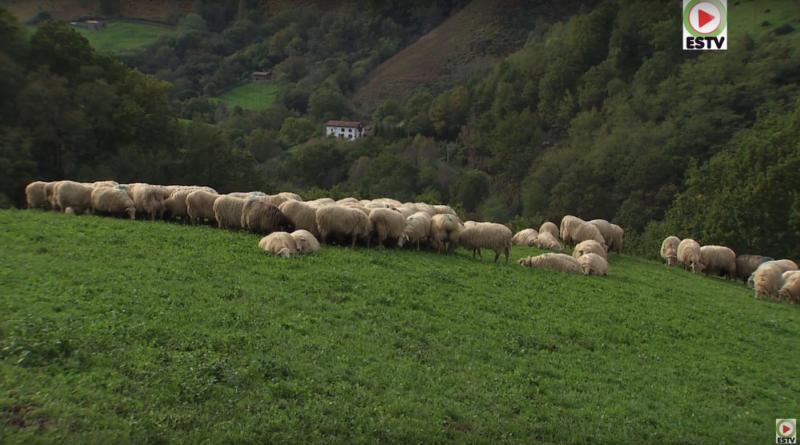 Pays Basque: Brebis de Montagne à Bidarray - Bretagne Télé