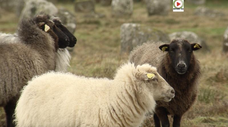 Carnac | Moutons brouteurs de Menhirs - Bretagne Télé